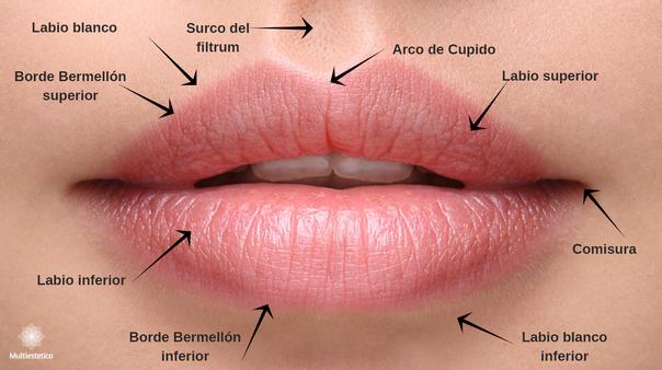 La anatomía de los labios